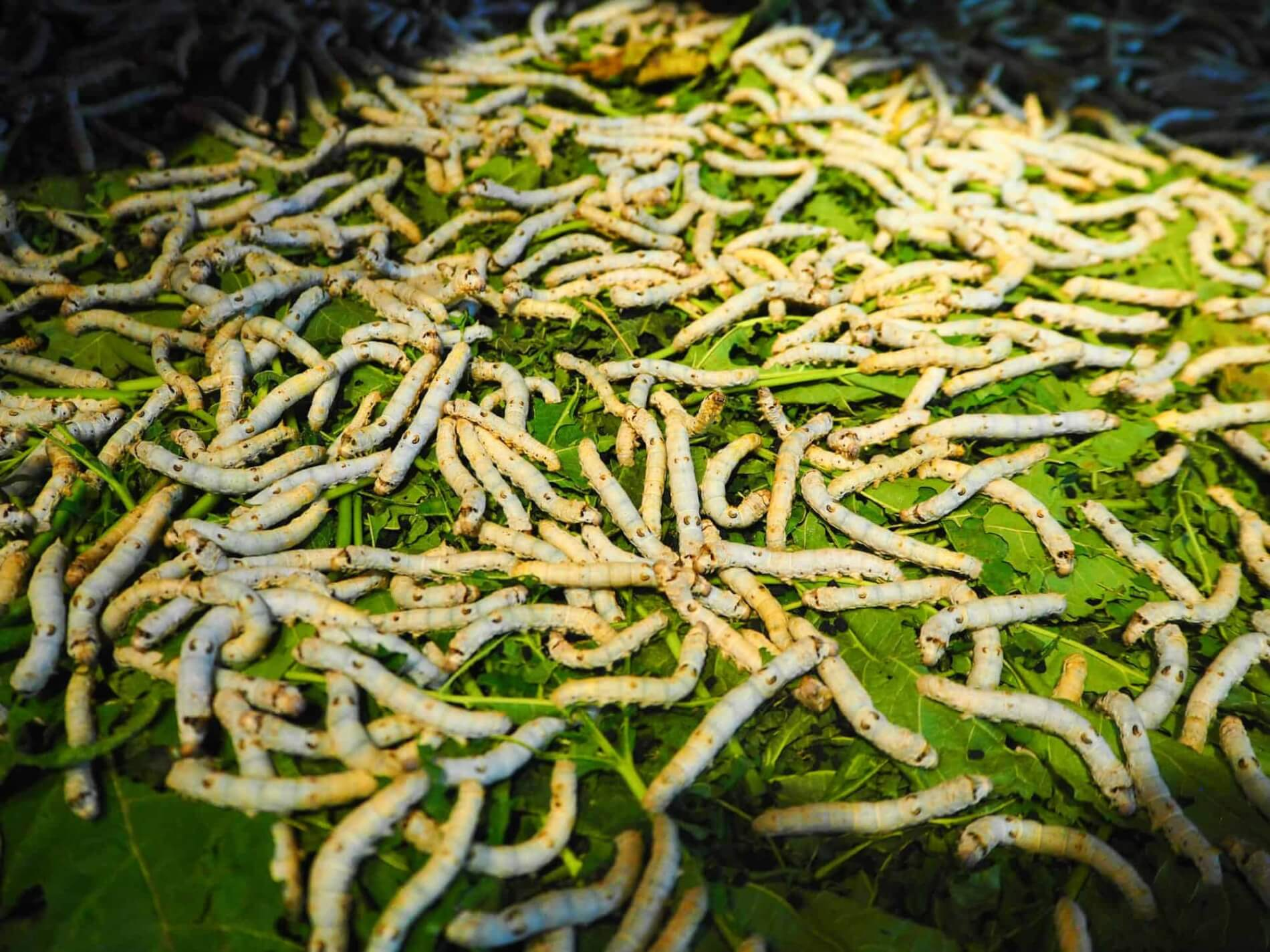 Hoi An Silk Village - silkworm