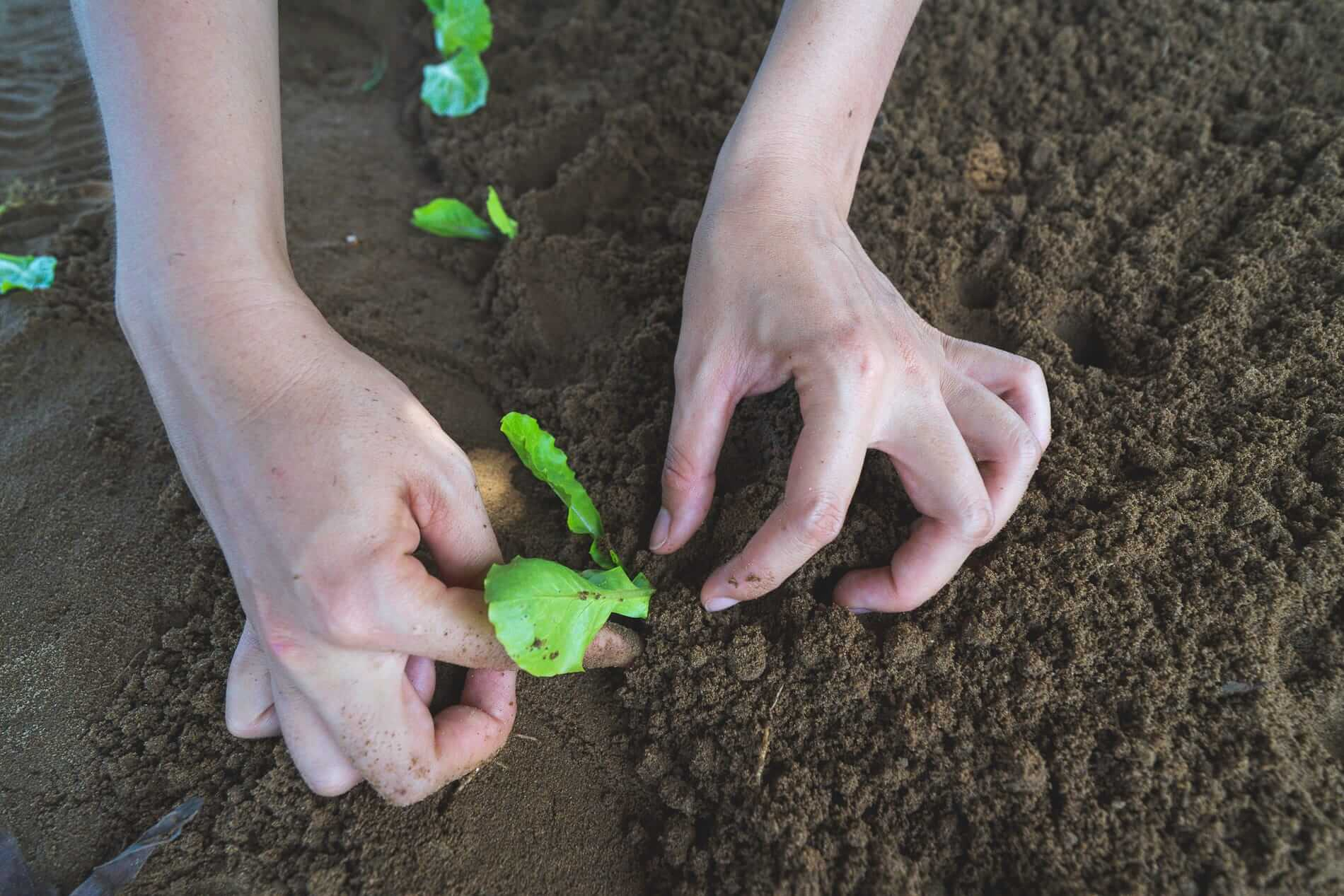 A tourist help with planting - Tra Que Vegetable Village