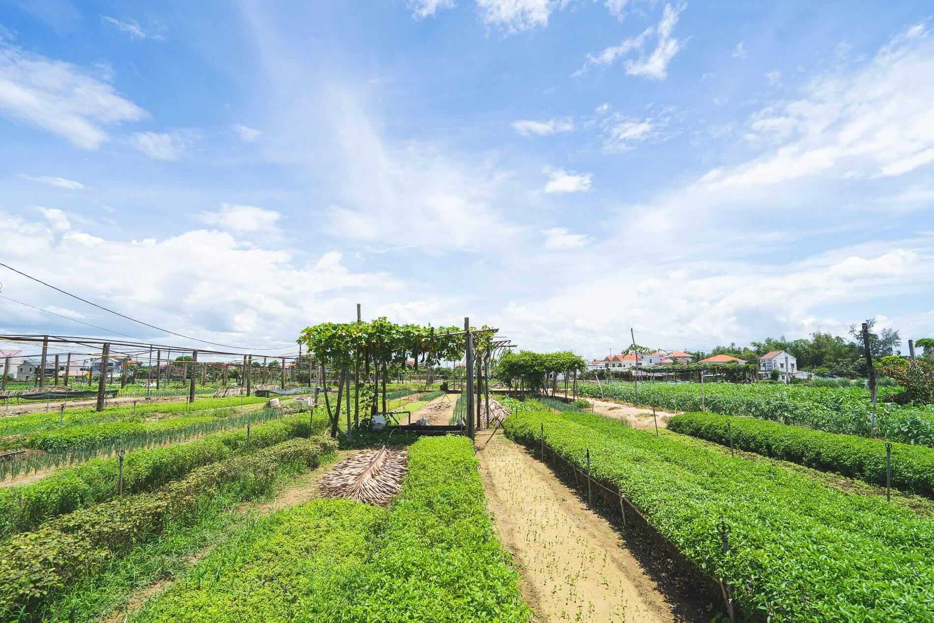 Blue sky and green fields - Tra Que Vegetable Village
