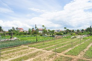 Allotments of Tra Que Vegetable Village