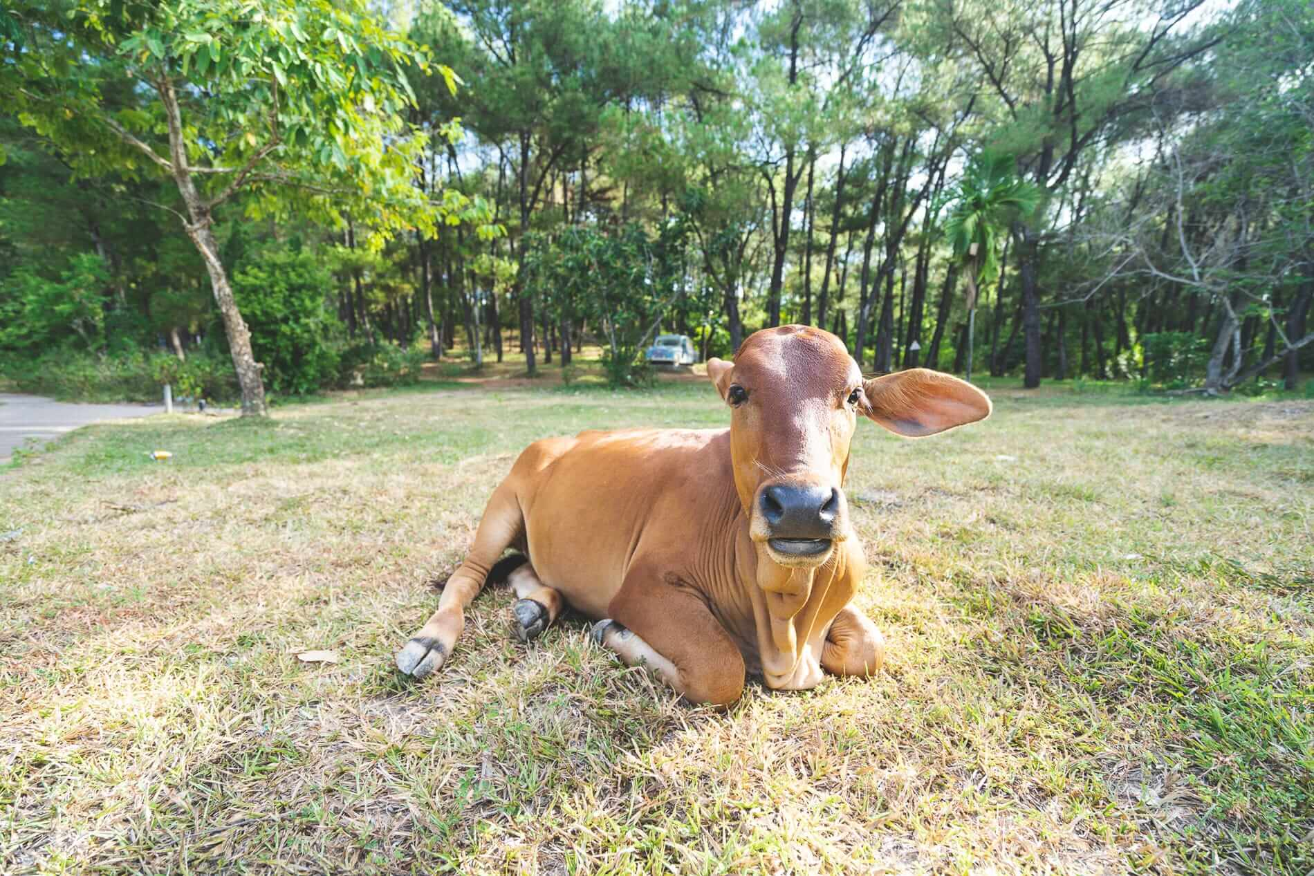 A cow at Hue's Abandoned Water Park