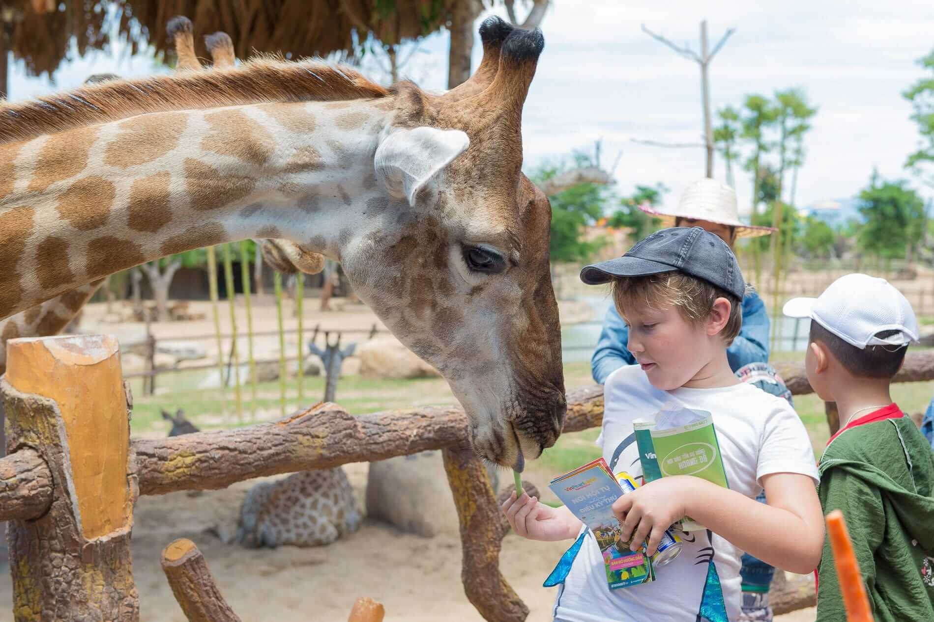 Tourist feeding a giraffe at VinPearl Land Safari