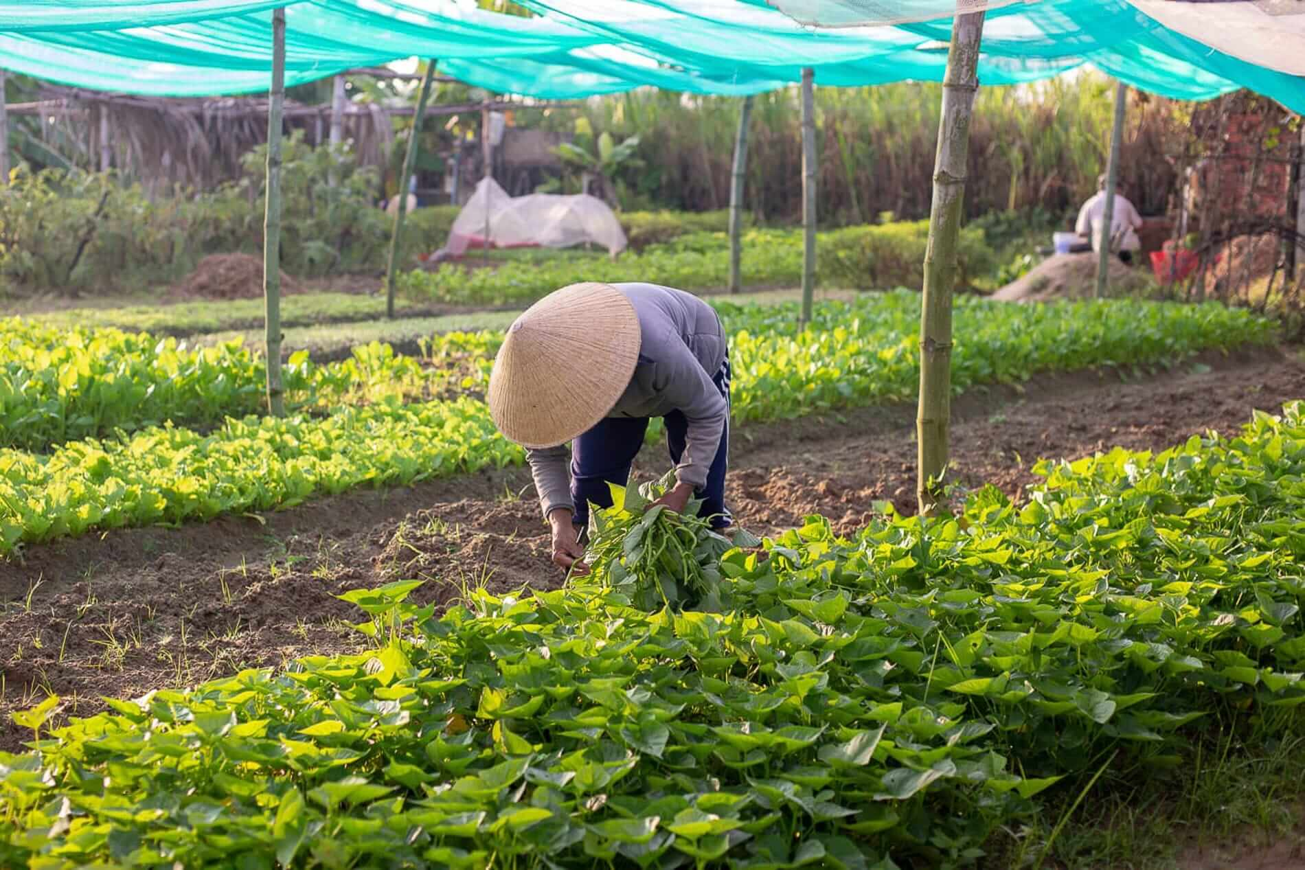 A farmer at work in Hoi An's Tra Que Vegetable Village
