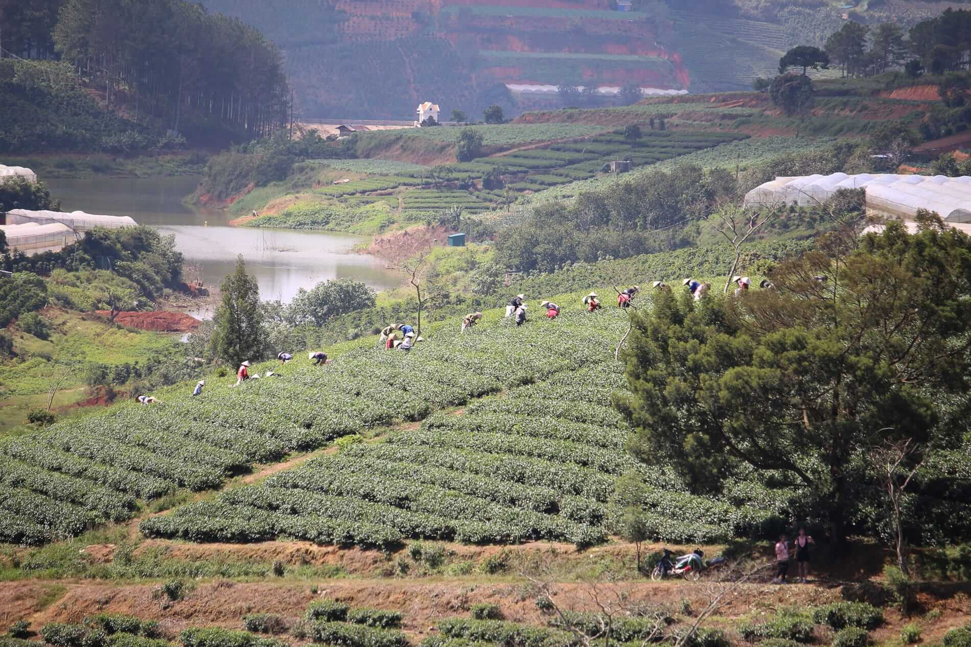Workers harvest coffee beans on the hills at Da Lat