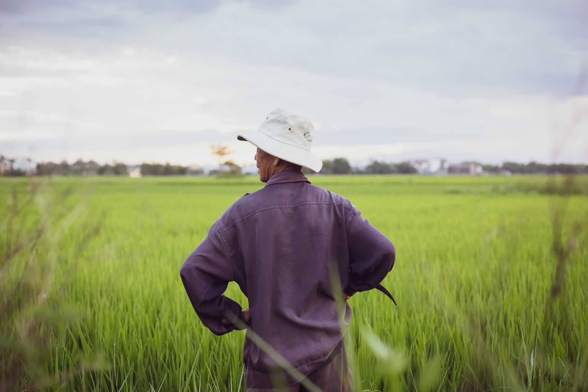 Rice is harvested twice a year in the fields of Hoi An